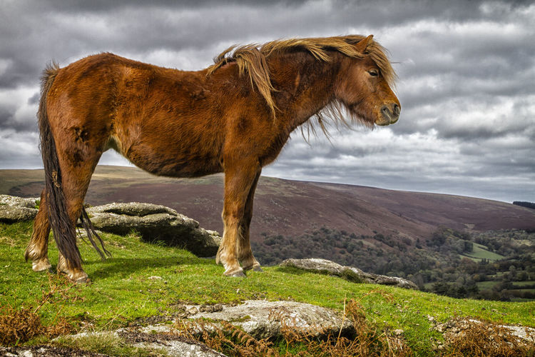Dartmoor Pony on the moor above Widecombe Animal Themes Arid Climate Dartmoor Day Domestic Animals Field Full Length Geology Grass Grazing Herbivorous Horse Livestock Mammal National Park One Animal Outdoors Physical Geography Pony Remote Remote Location Standing Two Animals Zoology