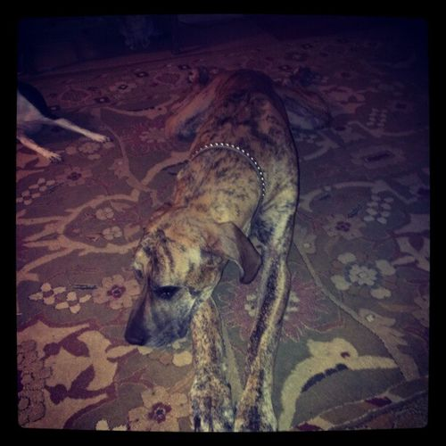Just relaxing Haha . Greatdane Layedout