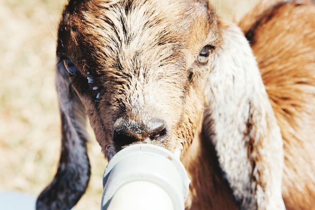 Goat kid Baby Bottle Cute Animals Cute Babies One Animal Animal Drinking Young Animal Goat Domestic Animals On The Farm Animal Themes Baby Animals Farm Life Farm Animals Goat Farm Baby Goats Goat Kid Bottle Feeding Goat Life Goat Kids Looking At Camera
