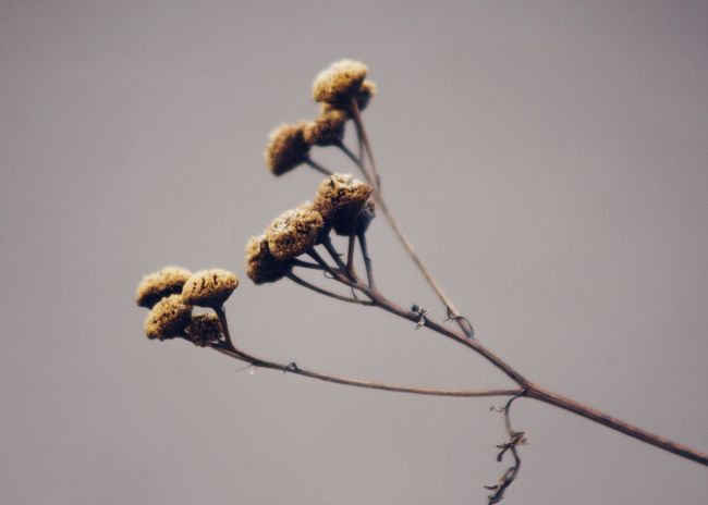 dried tansy wildflowers Autumn Wildflower Abstract Backgrounds Brown Change Change Of Seasons Close-up Dried Plant Fall Low Angle View Nature Outdoors Pointed Purity Season  Simplicity Tansy Wallpaper Wild Wilted Plant