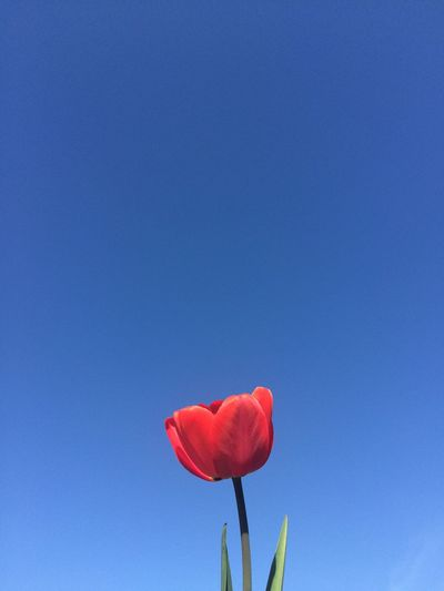Red poppy blooming against clear blue sky