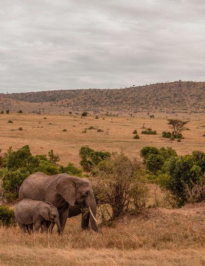Kenya Masai Mara National Reserve Masai Mara Africa Safari Wildlife Animal Animals In The Wild African Elephant Elephant Mammal Animal Themes Outdoors Herbivorous Animal Wildlife