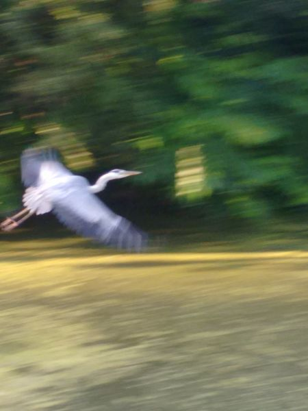 flying heron in motion blur without filter No Filter Flying Heron Flying Heron In Motion Blur Flying Heron In Motion Blur Without Filtet Flying Heron In Motion Blur Looking Right Bird Spread Wings Flying Motion Mid-air Speed Blurred Motion