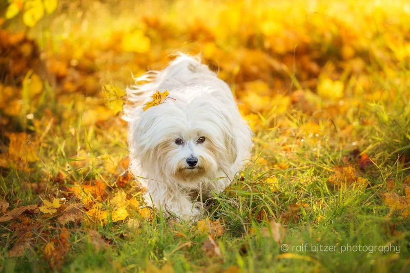 Dog Pets Domestic Animals Mammal Looking At Camera Grass West Highland White Terrier One Animal Field Standing Portrait Animal Themes Outdoors No People Nature Close-up Day
