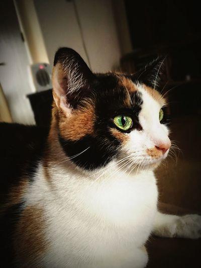Kitty Cat Calico