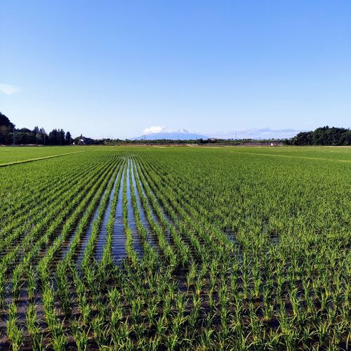 tsurukoa no Fuji san Rural Scene Agriculture Irrigation Equipment Field Vegetable Crop  Farm Sky Food And Drink Landscape Cultivated Land Plantation Cultivated Organic Farm Harvesting Agricultural Field Rice Paddy Agricultural Equipment Terraced Field