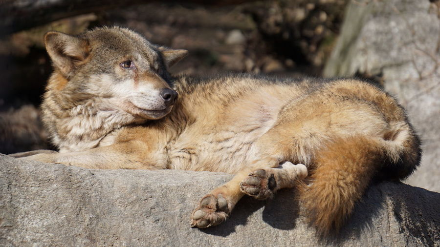 Low Angle View Of Wolf Resting On Rock