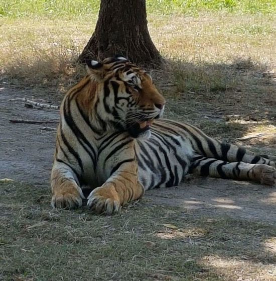 Tiger Grass Close-up