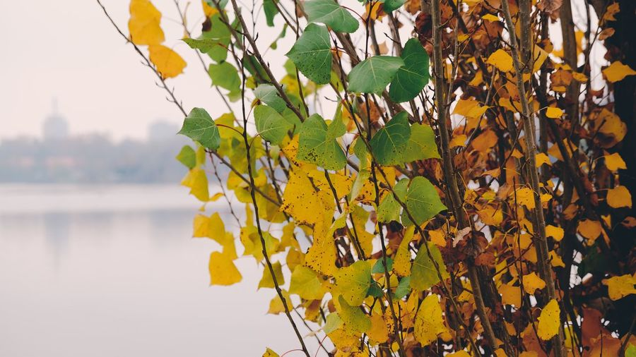 Close-up of yellow leaves on tree during autumn