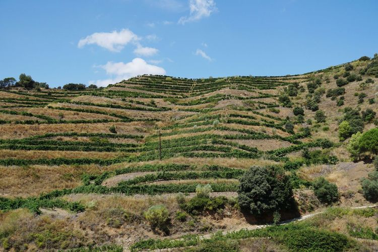 vineyards of Priorat Wine First Eyeem Photo Eye4photography  Nature Nature_collection Summerscape Catalonia Catalonia Is Not Spain Catalunya Landscape Rural Scene Beauty Agriculture Hill Sun Summer Field Terraced Field Agricultural Field Vineyard Valley