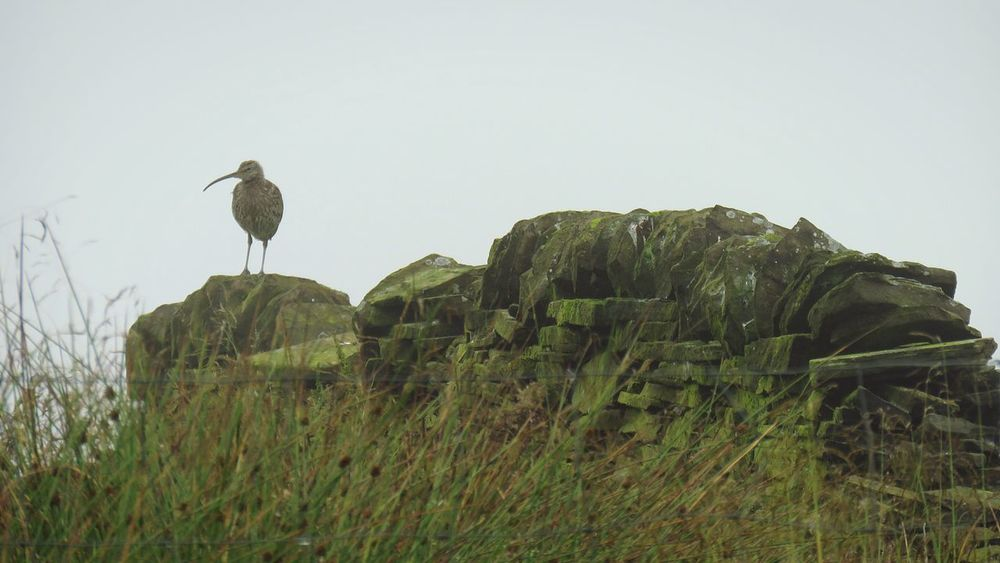 Bird Animal Wildlife Animals In The Wild Nature Outdoors Day One Animal No People Perching Sky Animal Themes Foggy Morning Curlew Beauty In Nature