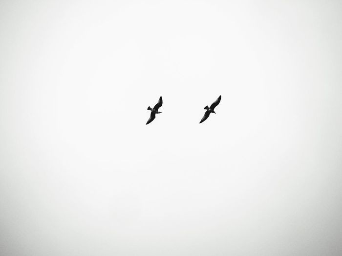 Seagulls in the sky Flying Bird Seagull Birds Bird Copy Space Low Angle View Clear Sky Sky Mid-air Nature Flying Bird Animal No People Animal Themes Group Of Animals Animal Wildlife Day Animals In The Wild Outdoors Silhouette Two Animals Vertebrate