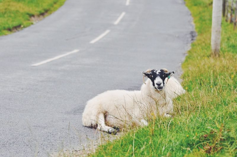 Portrait of sheep on road