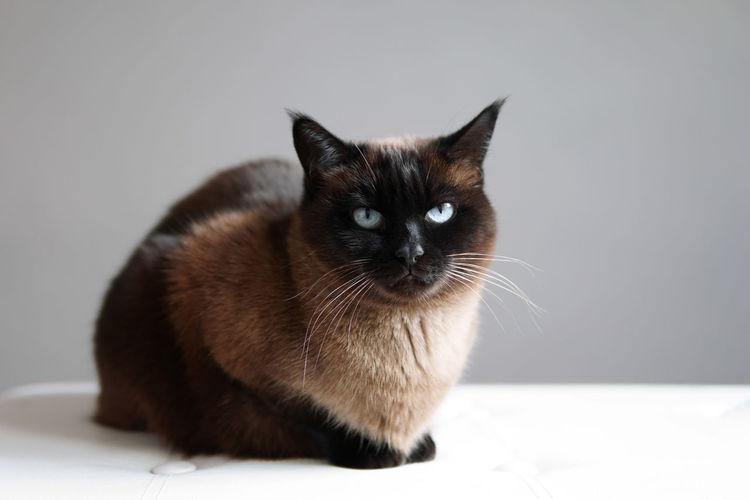Siamese or thai cat - purebred feline pet resting indoors