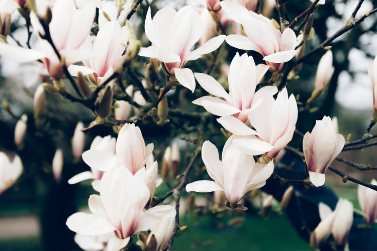 Beautiful light pink magnolia tree with blooming flowers during springtime in english garden, uk