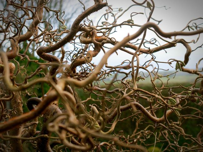 Showcase: December Squiggles Chaos Pattern Nature Tree Bush Noleaves No Leaves Winter Wintertime Crispy Curly Organic Shapes In Nature  Brown Twigs Garden Cool Textures And Surfaces December Outdoor Nature Photography My Winter Favorites Macro Beauty