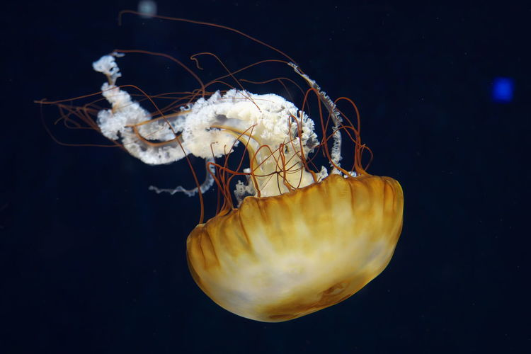 Aquarium Blue Close-up Fish Jelly Fish Jellyfish Sea Life Swimming UnderSea UnderSea Underwater