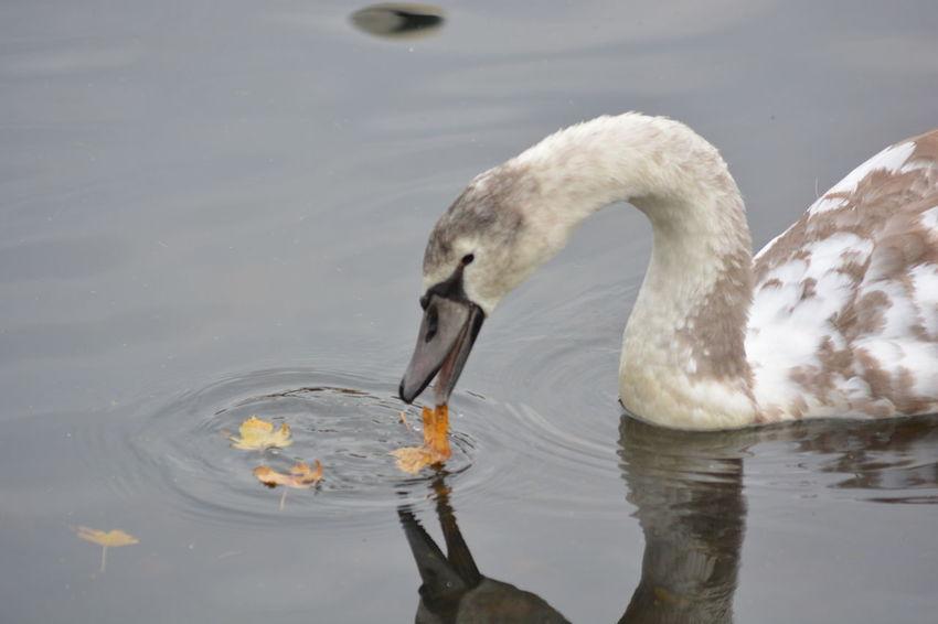 All My Own Work Autumn Walk Beak EyeEm Nature Lover Lake Leaf Nature Nikon No People One Animal Outdoors Swan Water Bird