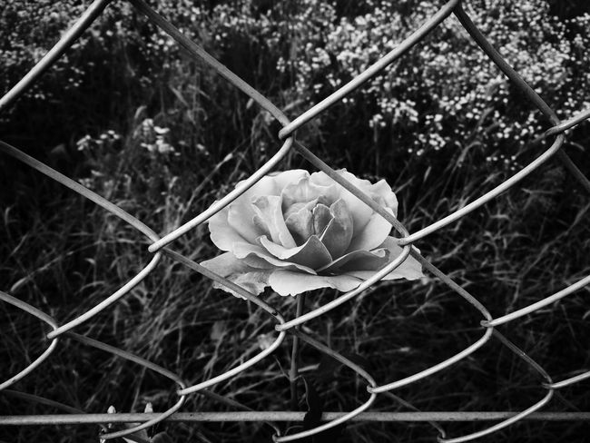 Chainlink Fence No People Outdoors Protection Nature Plant Close-up Black And White Photography Black & White Blackandwhite Photography My Unique Style EyeEm Selects EyEmNewHere EyeEm Masterclass EyeEmBestEdits Beauty In Nature EyeEmBestPics EyeEmbestshots Eye4photography  Eyeem Photography EyeEm Best Edits Beauty EyeEm Best Shots - Nature Day Outdoor Photography