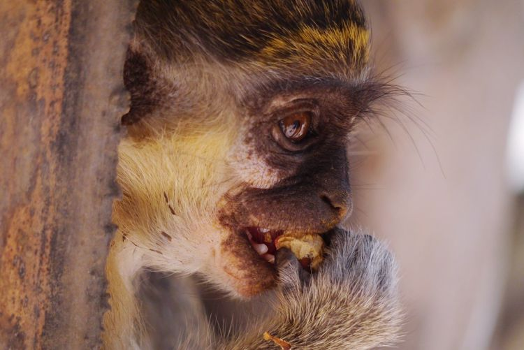 Monkey business Monkey Mammal One Animal Animal Wildlife Primate Animals In The Wild Close-up Outdoors No People Animal Eye First Eyeem Photo