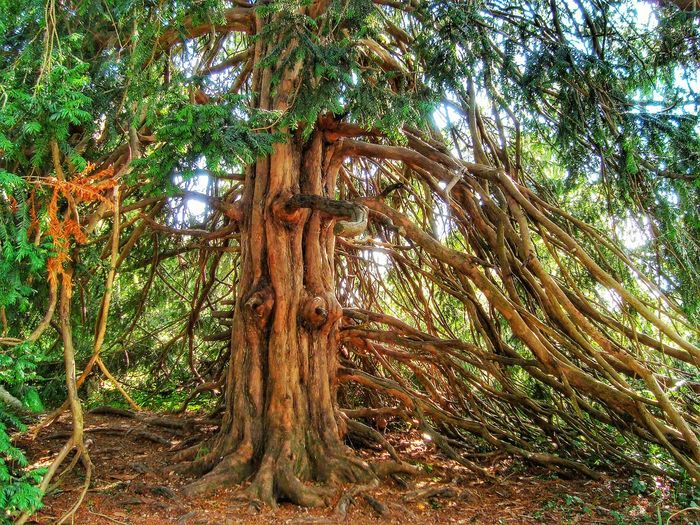 Old yew Astures Baccatine Celtic Druid Tree Forest Growing Longevity Nature Old Yew Root Taxine Taxus Toxicity Tree Tree Trunk Wild Berries Wood Yew Tree
