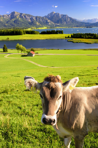 portrait of an cow in front of beautiful landscape of region Allgäu in Bavaria with alps mountains and lake Forggensee Allgäu Bavaria Bavarian Landscape Farm Mountain View Nature Rural Alps Animal Bavarian Alps Card Cattle Cow Cows In The Feilds Forggensee Lake Landscape Meadow Mountain Range Mountains Scene Scenery Scenics Spring Summer
