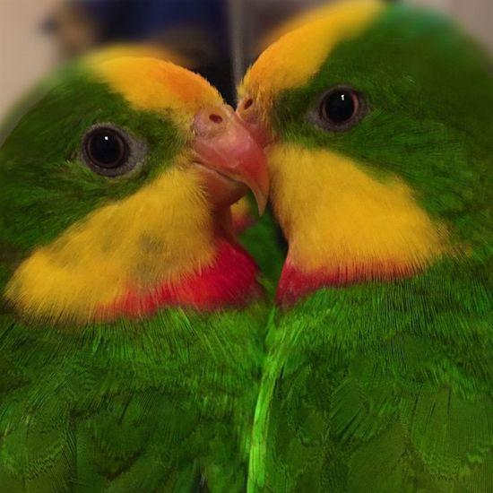 2 Sweet Boys Schildsittich Superb_parrots Parrot Papagai Parrotlife Parrotlove Parrotmylove @insta.birdss @winstontheparrot @evelinapls @animalslove365 Birds Kiki Uschi Lovebirds Tumblr Lomoblog 1 2 2015
