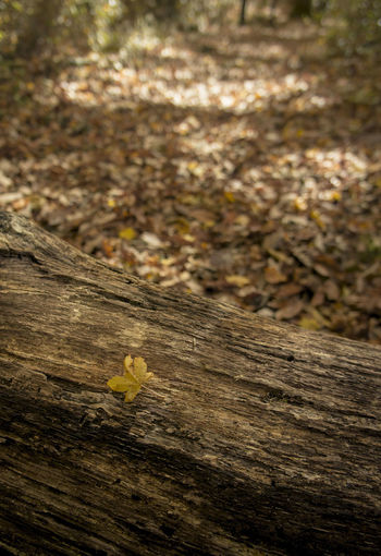 Autumn Beauty In Nature Focus On Foreground Leaves Outdoors Textured  Wood - Material Yellow