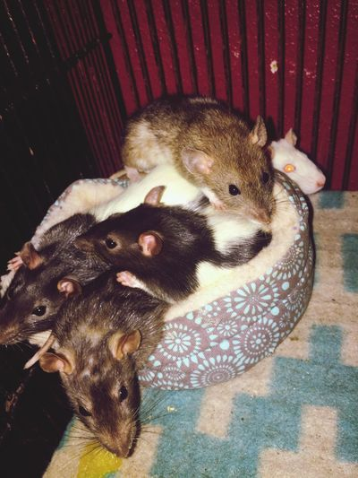 Rat Rats Pet Pet Rat Pet Rats Rat Pile Pile Cute Cute Pets Animal Themes Mammal Indoors  Domestic Animals High Angle View Pets Togetherness No People Day Close-up