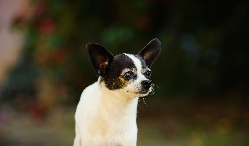 Close-up of contemplative chihuahua dog
