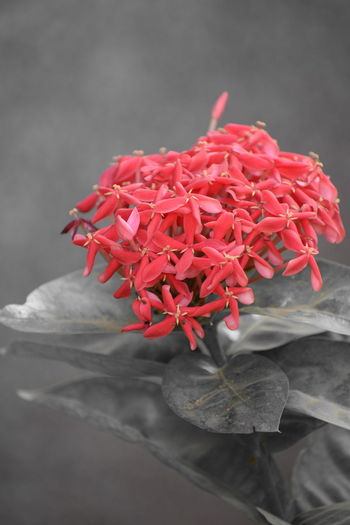 Black And White Friday Red No People Studio Shot Gray Background Flower Close-up Freshness Day EyeEmNewHere National Geographic Beautifully Organized Beautifulview Evening Cold Colors Nikonphotography Thumbs Up ! Evening Glow Red Nature Outdoors Scenics Beauty In Nature Silhouette
