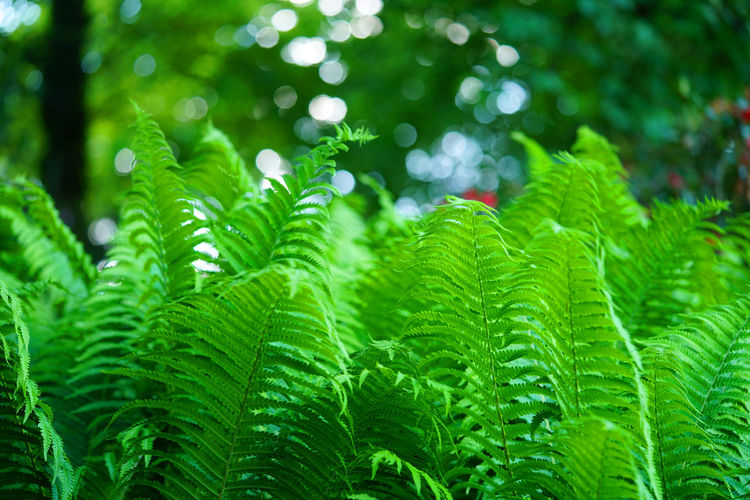 Beautiful green fern in the Teutoburger Wald Green Color Plant Leaf Growth Beauty In Nature Nature Tree No People Focus On Foreground Fern Freshness Day Forest Lush Foliage Wet Foliage Backgrounds Outdoors Rain Rainforest Soft Focus Leaves Dew Teutoburger Wald
