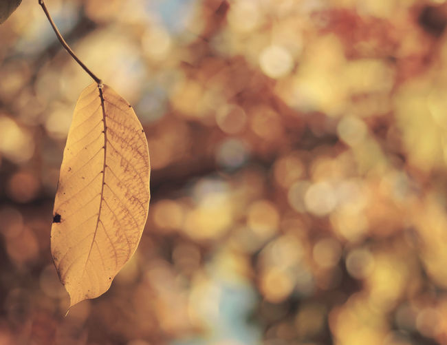Ready to tall Autumn Bokeh Branches Close Up Color Dof Fragility Leaf Minimal Wallnuttree