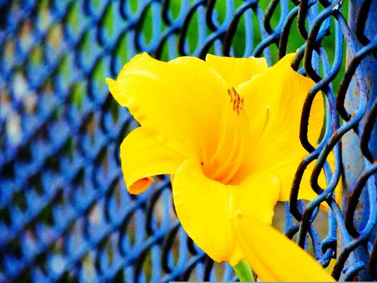 Lily & steel Flower Petal Yellow Fragility Outdoors Plant Nature Day Growth Beauty In Nature No People Flower Head Close-up Freshness Blooming Summer Blossom