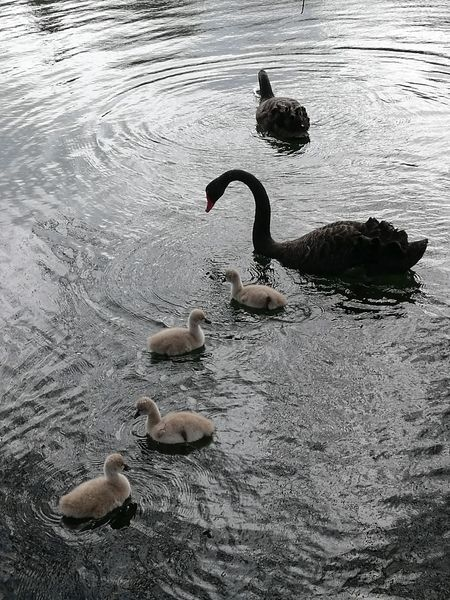 Bird Animals In The Wild Wildlife Water Tranquility Outdoors Water Bird Swans Cygnets Spring Lake Nature No People Non-urban Scene Zoology Day