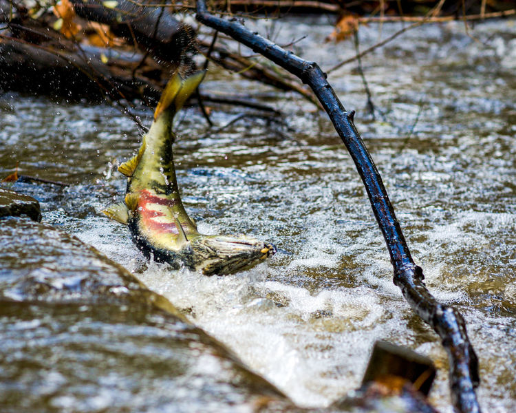 Adult spawning salmon jumping out of water Autumn Adult Salmon Adult Salmon Jumping Adult Salmon Spawning Animal Themes Close-up Day Fall Motion Nature No People Outdoors Salmon Salmon Jumping Salmon Jumping Water Salmon Spawning Spawning Salmon Stream Water