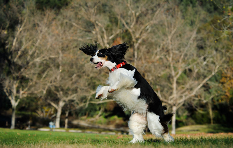 English springer spaniel dog rearing up on field
