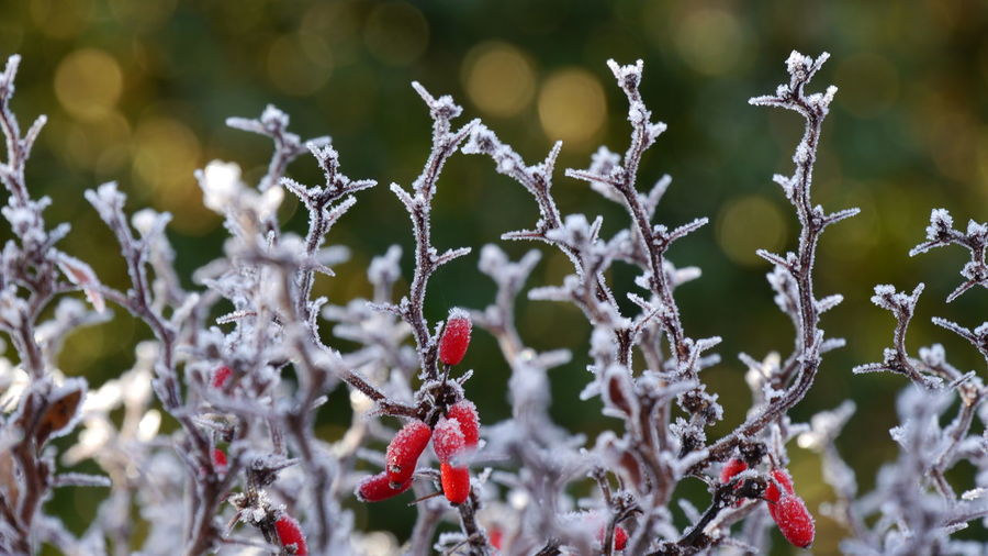 Close-Up Of Frozen Flower Tree