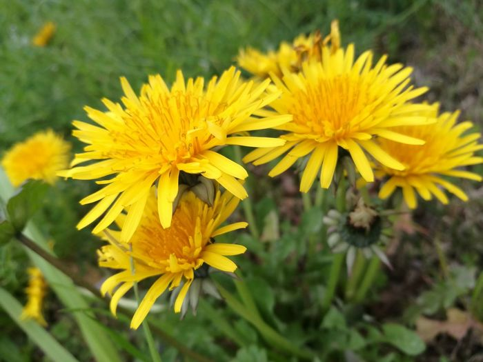 Yellow Flower Nature Growth Outdoors Beauty In Nature Plant Close-up Flower Head Fragility Freshness Day