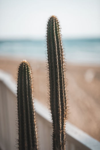 Close-up of succulent plant at beach against sky