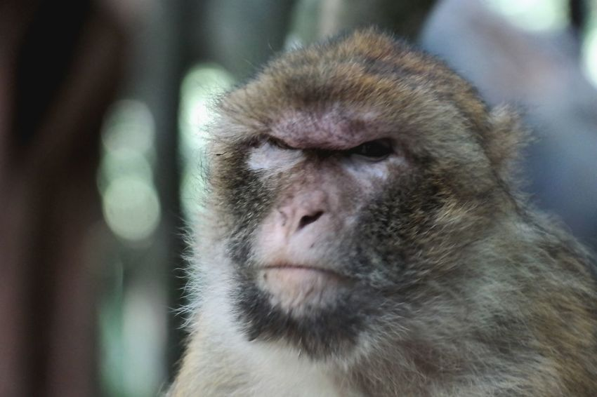 it's monday Affenberg Salem Animal Themes Animal Photography My Point Of View Baboon Portrait Ape Primate Close-up Animals In Captivity Animal Eye Animal Head  Animal Hair Animal Face Animal Nose Animal Ear
