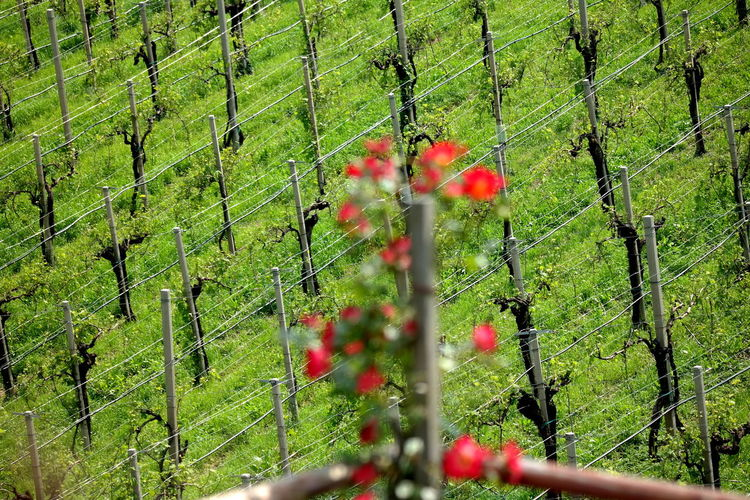 Plant Growth Green Color Nature Beauty In Nature Freshness Selective Focus Flowering Plant Red Flower Focus On Background Boundary Winemaking Vineyard Vineyard Cultivation Valdobbiadene Prosecco Proseccohills Prosecco Land Proseccosuperiore Prosecco Wine Stradadelvino Strada Del Prosecco Italy❤️ Italia Veneto Veneto Italy Veneto Region The Week on EyeEm EyeEm Best Shots EyeEm Selects EyeEm Nature Lover EyeEm Gallery Landscape_Collection Landscape_photography Nature_collection Nature Photography Naturelovers In A Row