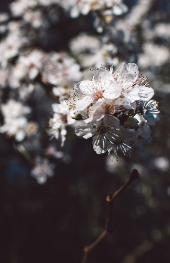 Flower Fragility Plant Flowering Plant Growth Vulnerability  Beauty In Nature Freshness Close-up White Color Blossom Day Tree Focus On Foreground Nature Springtime Inflorescence Pollen No People Flower Head Outdoors Cherry Blossom Cherry Tree Bunch Of Flowers Spring