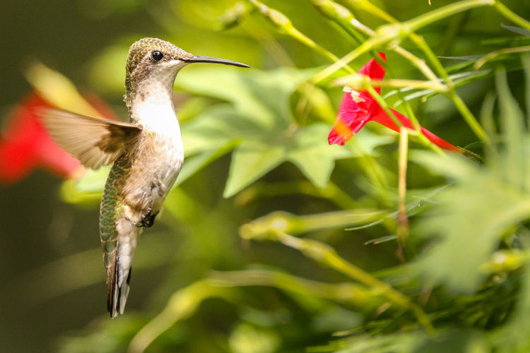 EyeEmNewHere Animals In The Wild Animal Animal Themes Animal Wildlife Animals Animals In The Wild Beak Beauty In Nature Bird Close-up Flower Flowering Plant Flying Hummingbird Hummingbirdphotography Mid-air No People One Animal Outdoors Plant Red Spread Wings