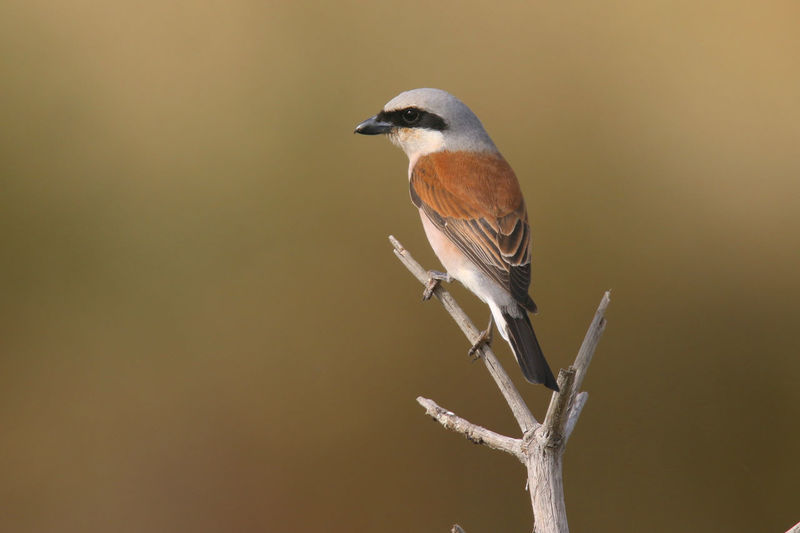 Bird Photography Birds Of Cyprus Cyprus Cyprus Nature Animals In The Wild Beauty In Nature Bird Birds Close-up Nature Outdoors Perching Red-backed Shrike Shrike