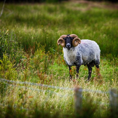 Animal Themes County Mayo Day Domestic Animals Field Focus On Foreground Grass Grassy Growth Ireland Livestock Mammal Mayo Nature No People One Animal Ovine RAM Selective Focus Sheep