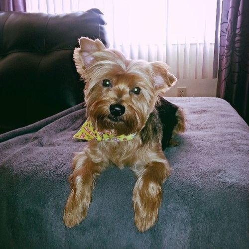 haircut day! Ilovemypuppy Yorkie Chewie Yourekillinmesmalls