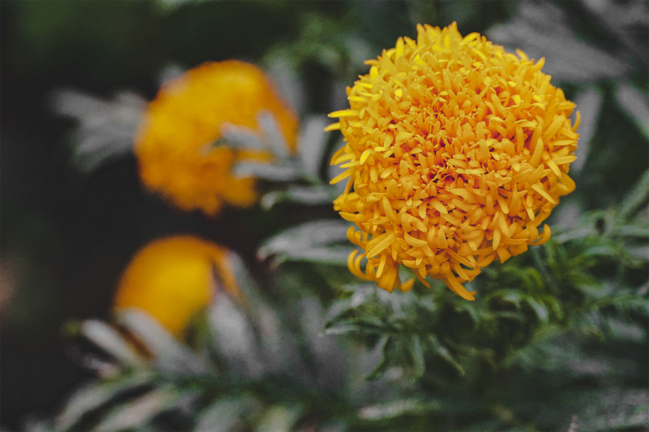 CLOSE-UP OF YELLOW MARIGOLD