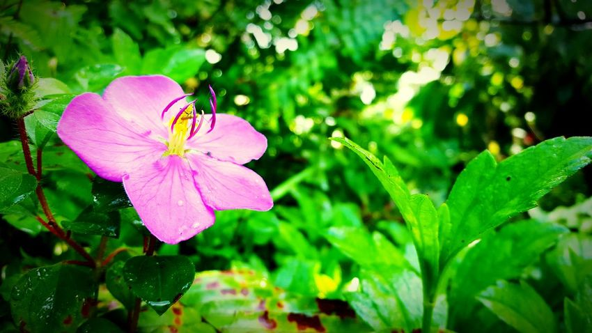 Simple flower (samsung s6 shot) Flower Freshness Fragility Petal Growth Close-up Flower Head Pink Color Beauty In Nature Nature Stem In Bloom Focus On Foreground Green Color Blossom Plant Purple Springtime Botany Single Flower