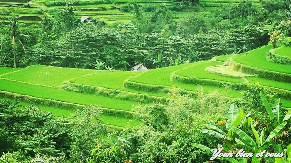 rizières bali Bali, Indonesia Terrasse Terrace Vert Trip Iles  Life Vacations Colors View Green Color Field Nature Agriculture Beauty In Nature Growth No People Rice Paddy Tranquil Scene Rural Scene Terraced Field Outdoors Tranquility Rice - Cereal Plant Landscape